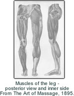 Muscles of the leg - posterior view and inner side