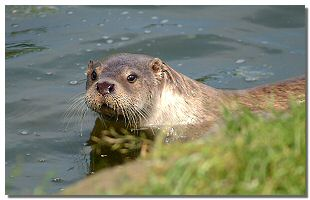 Picture of an Otter courtesy Mr R Bland