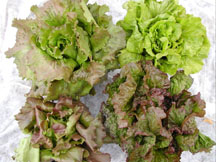 Sierra, Nevada, Tahoe, and Rouge de Grenoblouse Batavian lettuce varieties