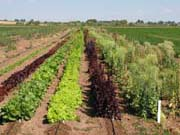 Lettuce bolting study planting successions