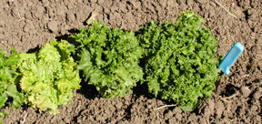 Simpson Elite, Two Star, and Waldmann's Dark Green green leaf lettuce varieties