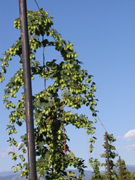 Canadian Red Vine hops
