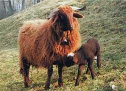 Pecora Roux du Vallais