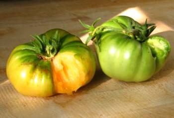 tomatoattack.jpg
