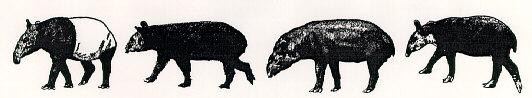 A chorus line of tapirs