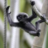 A baby silvery gibbon is pictured in its enclosure in Munich's zoo Hellabrunn (Michaela Rehle/Reuters)