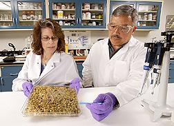 En el laboratorio, Carol Carter-Wientjes y Ed Cleveland examinan una caja de semillas de soya tratadas con un microorganismo para producir glyceollins. Enlace a la información en inglés sobre la foto