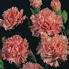 Dianthus caryophyllus Peach Delight