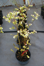 Blooming blueberry plant in February 2005