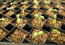 Germinating papaya seedlings