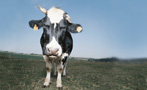 Beware the Myth of Grass-Fed Beef: It's Not Safer