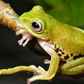 Rhacophorus Penanorum, a flying frog which changes colour at night