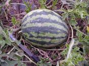 Sweet Beauty Watermelon