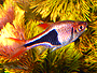 Buy Harlequin Rasboras for sale at AquariumFish.net, where shopping for a Rasbora is easy.
