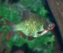 Green tiger Barb for sale at AquariumFish.net, a tropical fish store. Click on this picture to see a bigger picture.