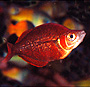 A beautiful young mature male New Guinea Rainbow fish.