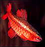 Buy Cherry Barbs for sale at AquariumFish.net where shopping for a Cherry Barb is easy.