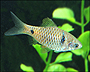 Buy Red Crystal Barbs, Puntius ticto, for sale at AquariumFish.net, where shopping for a Red Crystal Barb is easy.