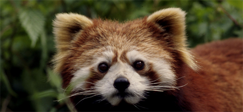 The red panda is rare. It is found in the Eastern Himalaya and in parts of China and Myanmar. It's habitat is under severe threat from deforetation, tourism and development projects. Adult red pandas are killed for their fur. Their tails are used as a good luck charm by some. Which is bad luck for the Red Panda.