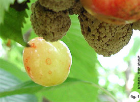 Brown Rot On The Fruit Of Sweet Cherry, Stanley Prune, Peach
