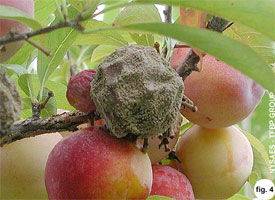 Brown rot on the fruit of sweet cherry