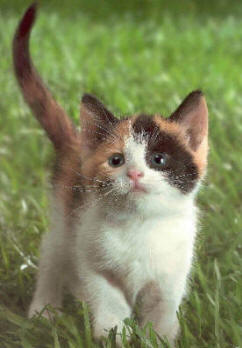 picture of cute calico kitten pic photo