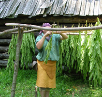 hanging tobacco on a sweating rack