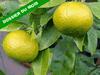 Citrus unshiu mandarinier satsuma