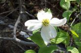 Virginia Dogwood