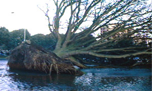 Heavy storms uproot a tree into a river.