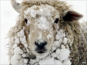 Snowy sheep, Ashford, Kent