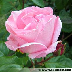 Rose history