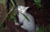 Felis catus on Chatham Island, New Zealand (Photo: Rex Williams, Chatham Island Taiko Trust) - Click for full size