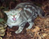Felis catus on Chatham Island (Photo: Rex Williams, Chatham Island Taiko Trust) - Click for full size