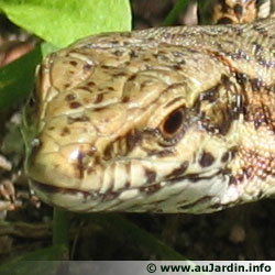 The common wall lizard