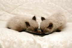 picture of 2 himalayan kittens eating