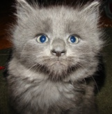 picture of cute grey kitten with funny face