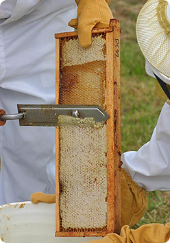 A frame of honey from a hive being uncapped with a hot knife.
