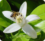 A worker bee pollinating an orange blossom.
