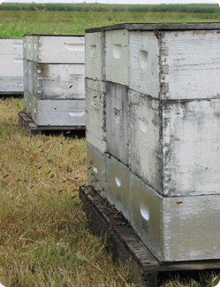Bee hives in a bee yard