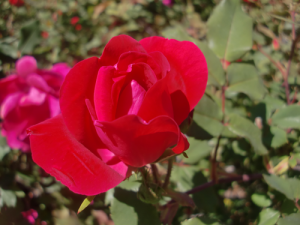 knockout rose care 300x225 Care of Knockout Roses