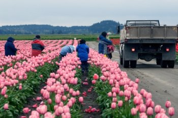 manual workers harvesting flowers
