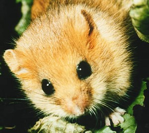 Dormouse 300x267 10 Mammals that have the best defense