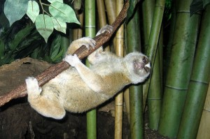 Slower loris 300x199 10 Mammals that have the best defense