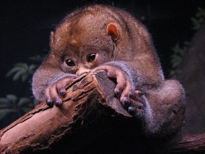Potto 300x225 10 Mammals that have the best defense