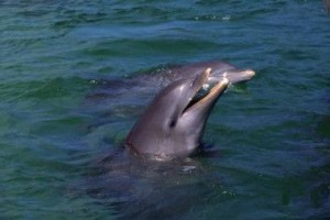 dolphin 300x200 Top 10 most intelligent animals