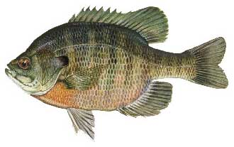 Lake Walk In Water Bluegill Fishing