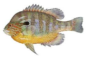 Escambia River Sunfish Fishing