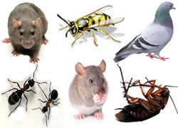 pest controllers for rats mice wasps moles pigeons pest birds ants insects cockroaches