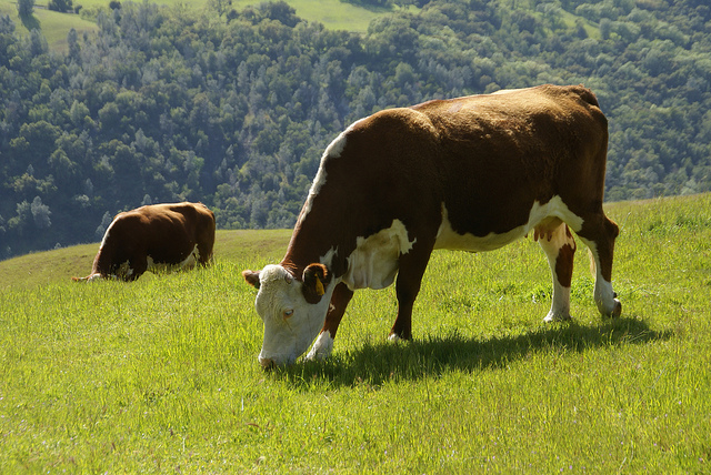Sunol Dairy Cow Eating Grass
